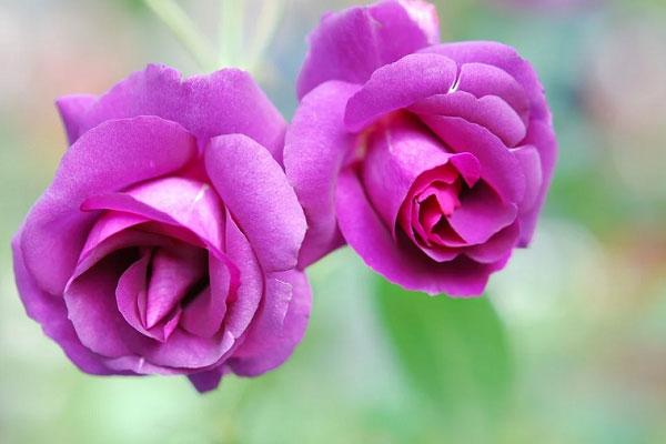Hoa tím lộng lẫy