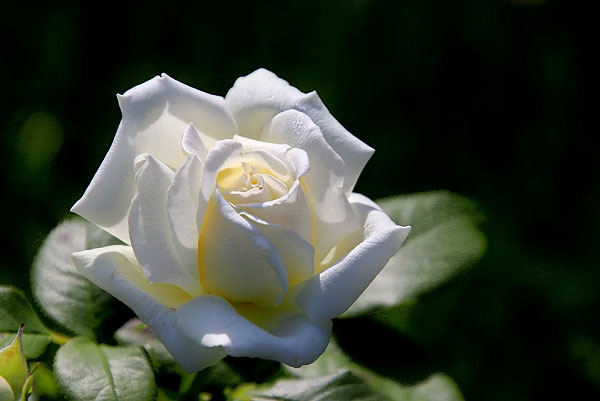 Hoa màu trắng tinh khiết