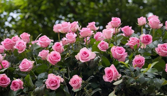 Những bông hồng màu cánh sen