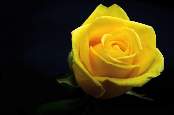 Hình ảnh bông hồng đẹp trên nền đen