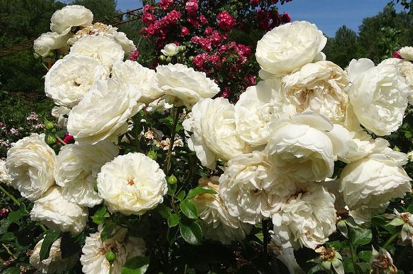 Hình ảnh hoa hồng leo trắng đẹp