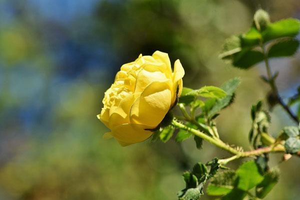 Hồng leo ra bông màu vàng