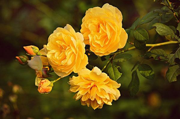 Hồng tỉ muội màu vàng