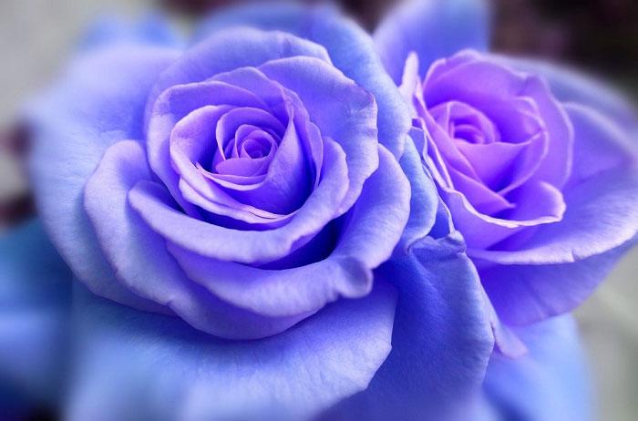 Hồng xanh ánh tím