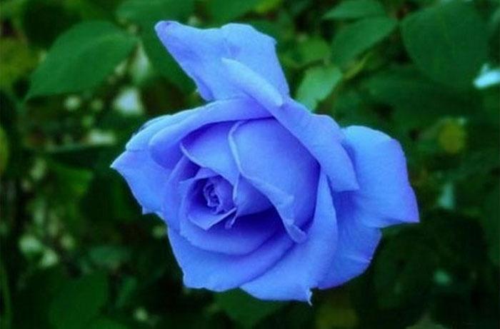Đóa hồng màu xanh biếc