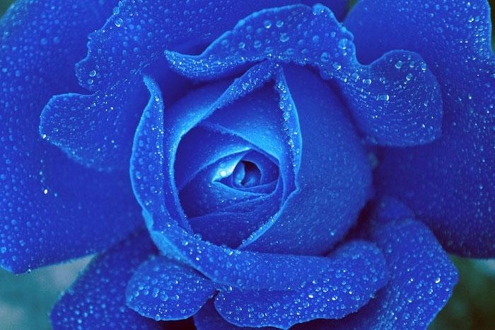 Hoa hồng màu xanh đậm