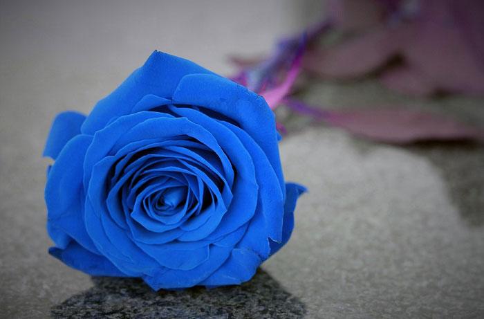 Bông hồng màu xanh dương