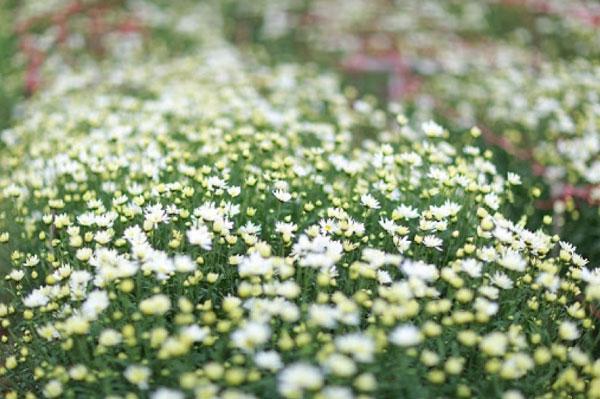 Luống hoa cúc