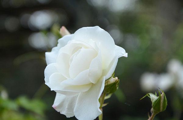 Một bông hoa hồng trắng tinh