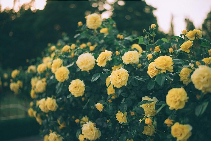 Màu vàng gold