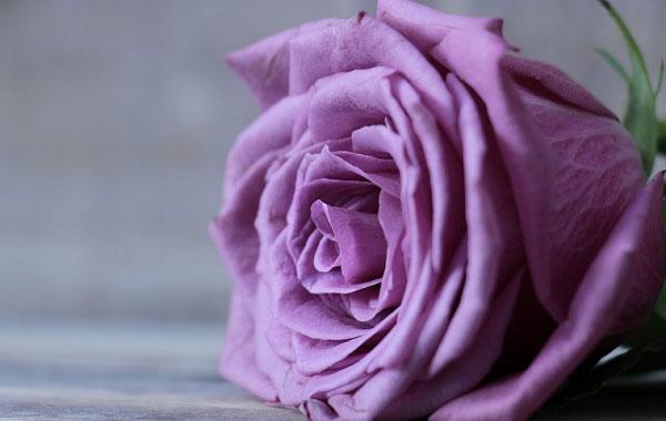 Nguồn gốc hoa hồng tím