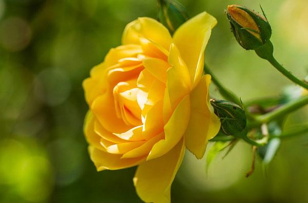 Nguồn gốc của những bông hồng vàng