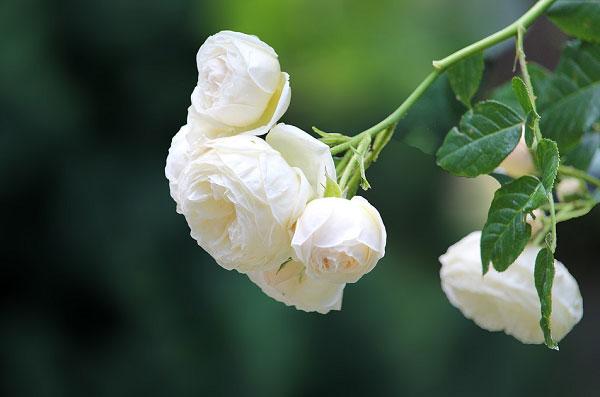 Nhánh hoa rủ