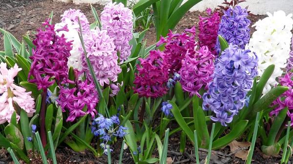 Nhiều màu sắc hoa dạ lan hương