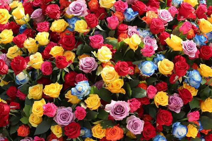 Hoa hồng với những màu sắc tươi tắn khác nhau và ý nghĩa của chúng