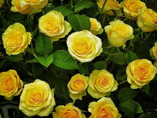 Hồng màu vàng có thể dùng để tặng trong nhiều dịp
