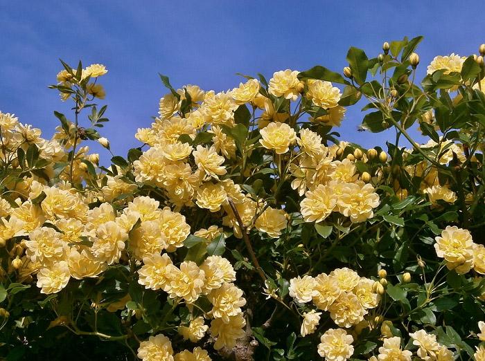 Những bông hồng màu vàng tươi
