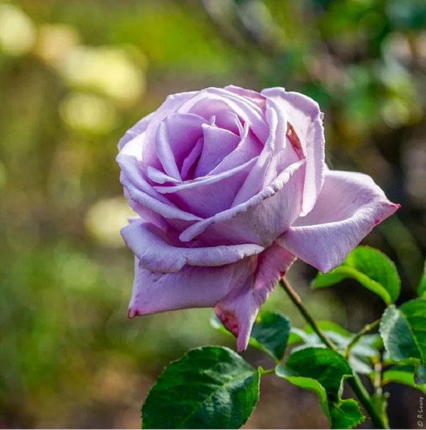 Những ý nghĩa của hoa hồng tím