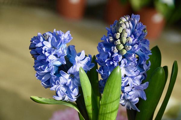 Những nụ hoa đang nở