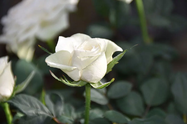 Nụ hồng trắng
