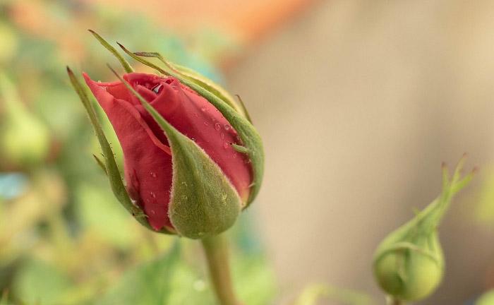 Nụ hồng mới hé