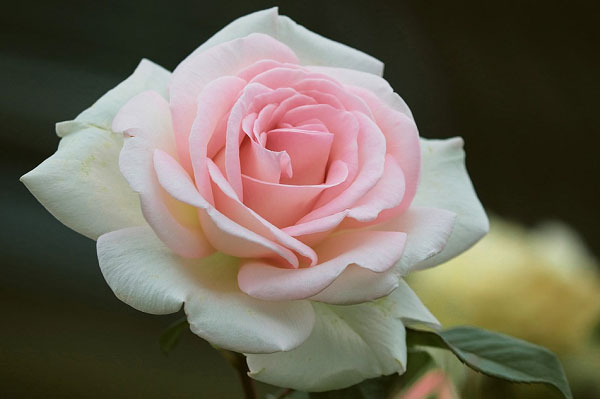 Màu trắng hồng dịu dàng
