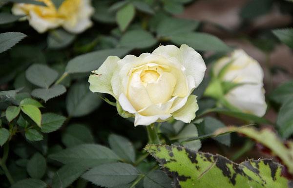Màu trắng phớt vàng