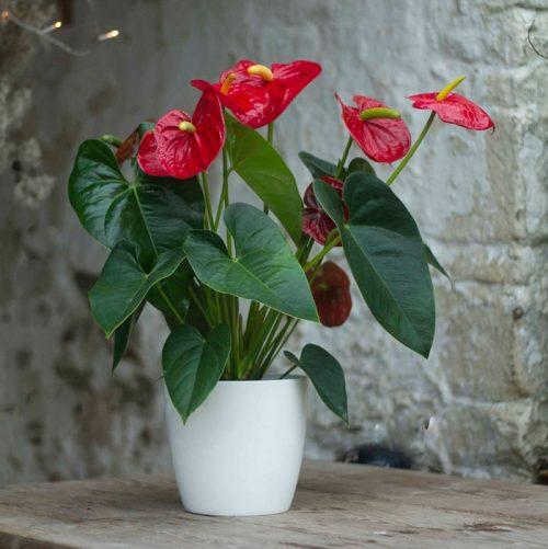 Sự thật hấp dẫn về hoa hồng môn nhiều người chưa biết