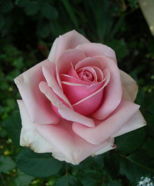Hoa hồng – Chúa tể của các loài hoa và mang nhiều ý nghĩa trong tình yêu