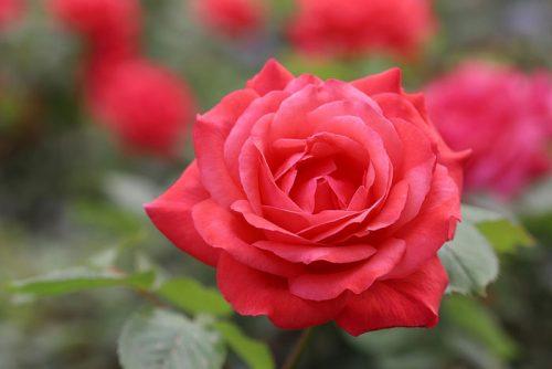 Hoa hồng đỏ – Sứ giả tình yêu lãng mạn và sâu sắc