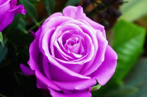 Hoa hồng tím – Loài hoa của sự lộng lẫy và mê hoặc