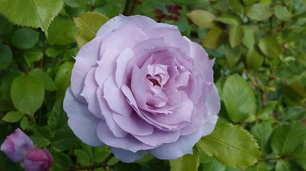 Ý nghĩa hoa hồng tím đối với người phương Đông