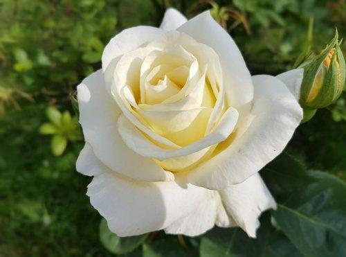 Hoa hồng trắng – Biểu tượng của sự ngây thơ và tinh khiết