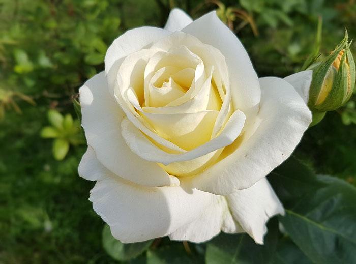 Một bông hồng trắng tinh khiết