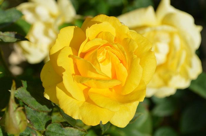 Hoa hồng vàng – Ý nghĩa của hoa trong cuộc sống bạn chưa biết