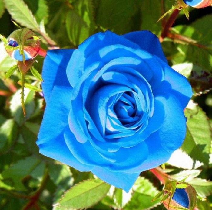 Bông hồng xanh dưới ánh nắng